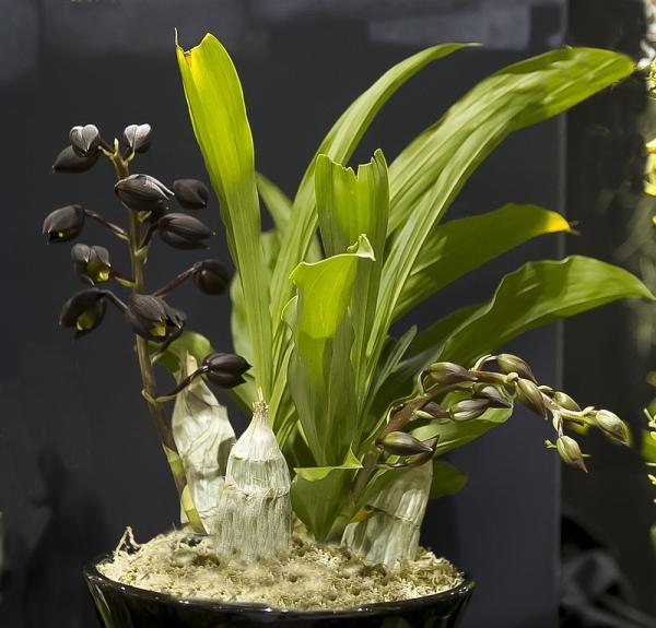 Orchids, Catasetum tenebrosum
